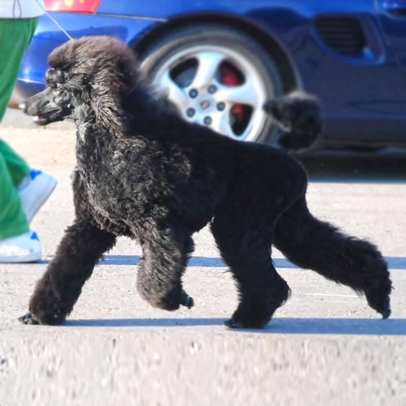 https://brownpoodles.com/wp-content/uploads/2017/04/ChickiB-800x800.jpg