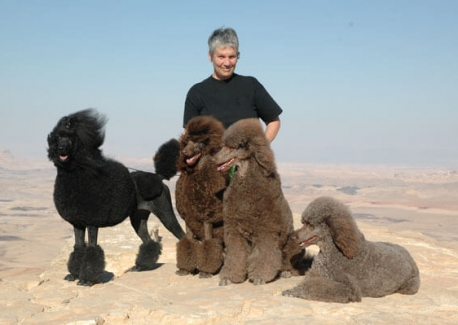 Brown Standard Poodles